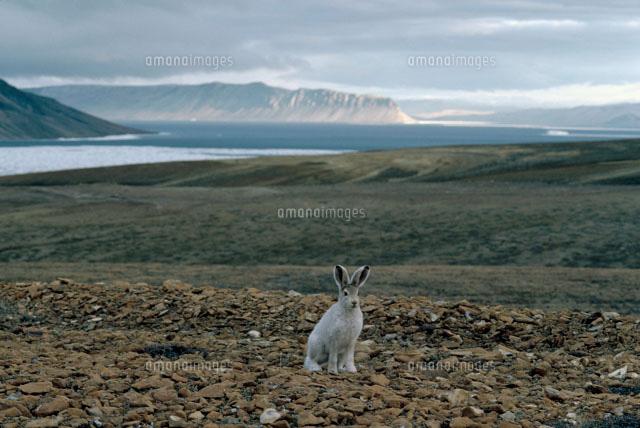 ユキウサギの画像 p1_18