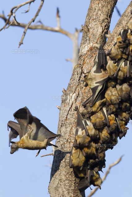 オオコウモリの画像 p1_38