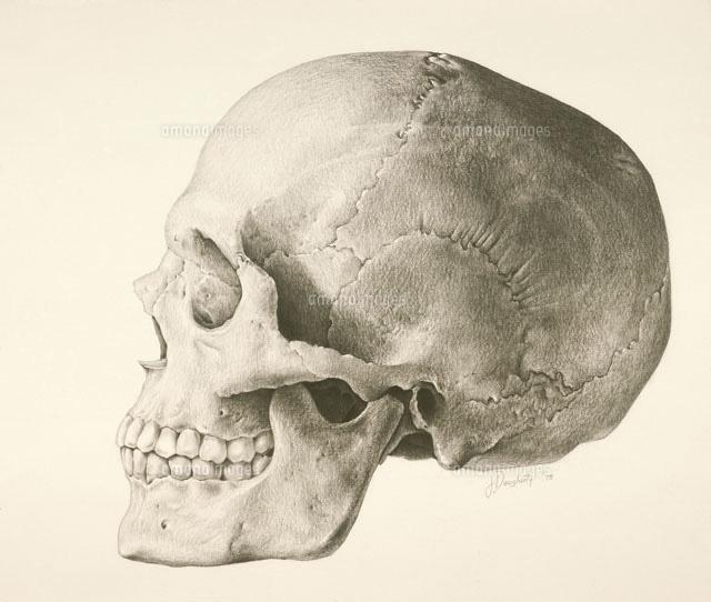 人間の頭蓋骨(c)John M. Daugherty/Science Source
