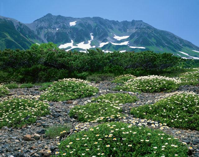 チングルマの花と立山 立山アルペンルート 富山県