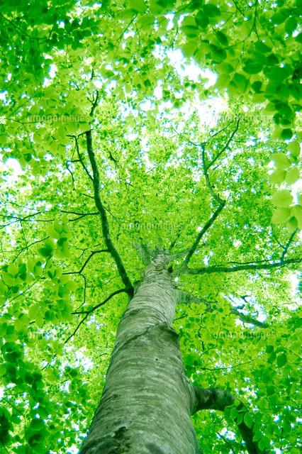 ブナの木と新緑