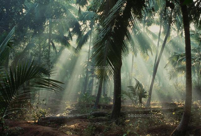 ココナッツ農園 ケララ州 インド...