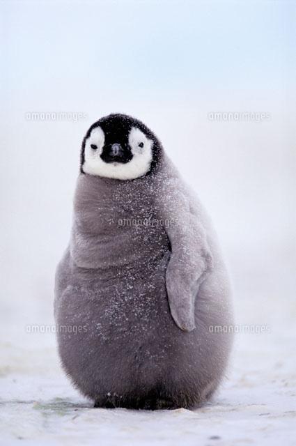 コウテイペンギンの画像 p1_34