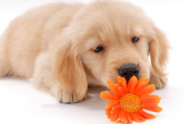 花と子犬(ゴールデンレトリーバー)[02322002783]| 写真素材 ...