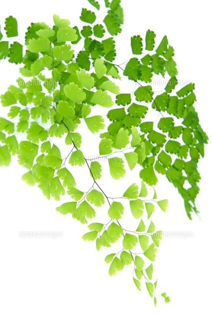 アジアンタムの葉
