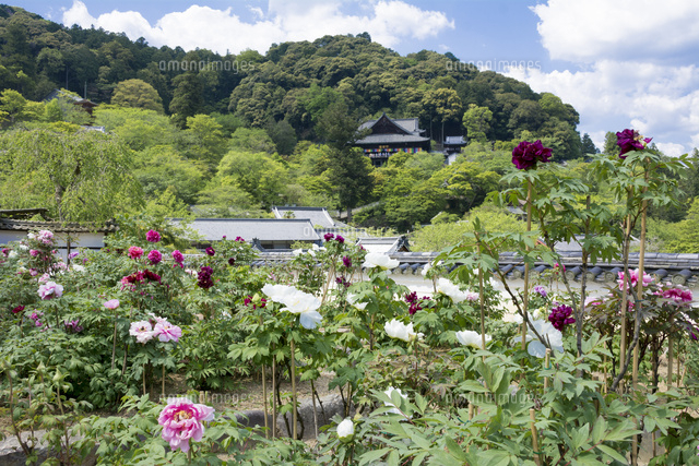 長谷寺とボタン (c)JUN KANEMATSU/SEBUN PHOTO