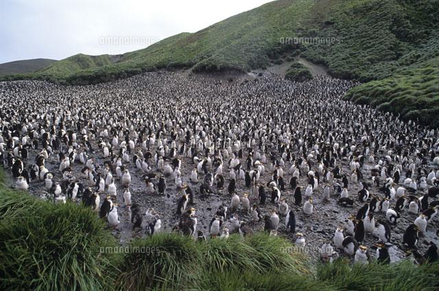 マッコーリー島の画像 p1_18