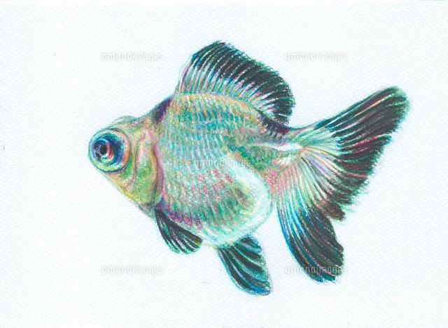 金魚 パンダ蝶尾[20041000054]| 写真素材・ストックフォト・画像 ...