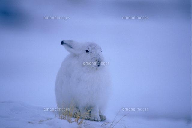 ユキウサギの画像 p1_19