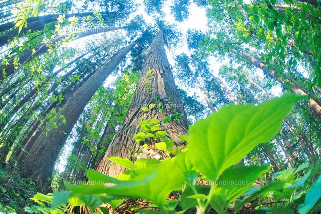 天然秋田杉の巨木と若葉