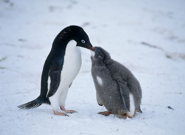 アデリーペンギンの画像 p1_25