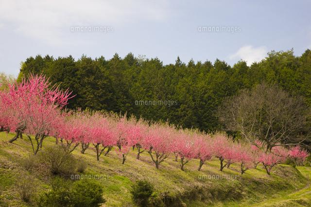 天野の里の花桃が咲く丘(c)KEIZO ...