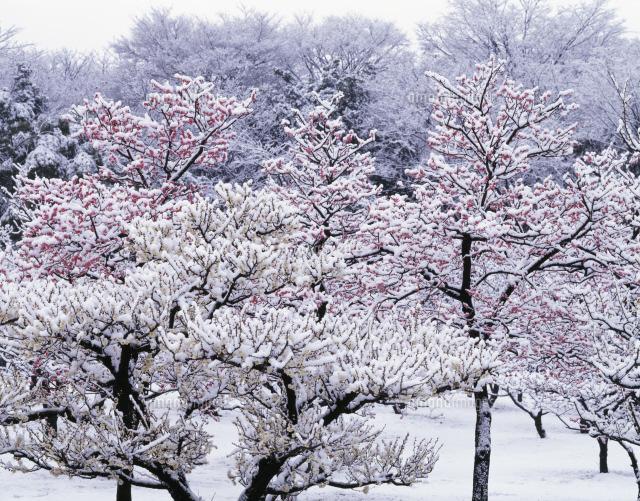 大阪城梅林 (c)HIROSHI TONOSHIRO/SEBUN PHOTO