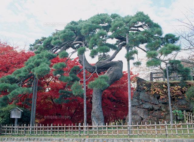 弘前城跡公園のアイグロマツ[252...