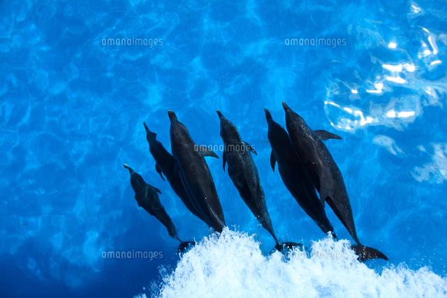 水面下を泳ぐタイセイヨウマダライルカの群れ (c)TAKAJI OCHI/SEBUN PHOTO