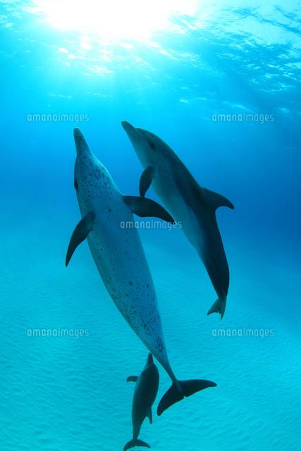 太陽光に向かって泳ぐタイセイヨウマダライルカたち (c)TAKAJI OCHI/SEBUN PHOTO