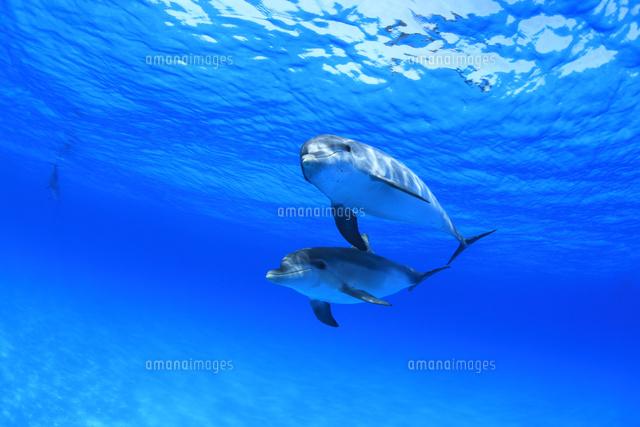 青い海で泳ぐイルカたち (c)TAKAJI OCHI/SEBUN PHOTO
