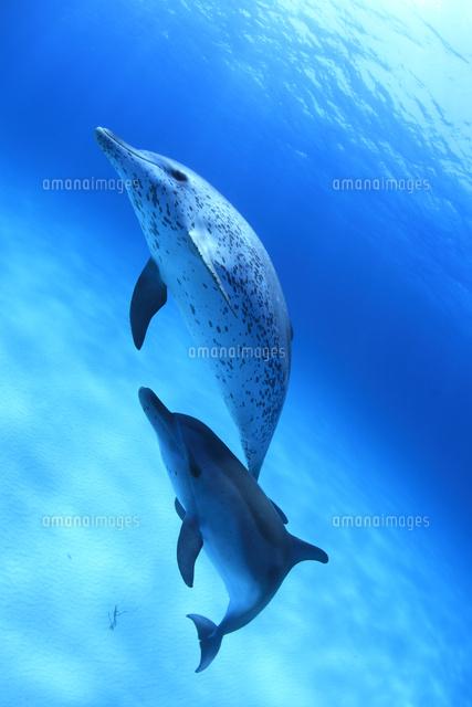 砂地の海底を泳ぐバハマのイルカたち (c)TAKAJI OCHI/SEBUN PHOTO
