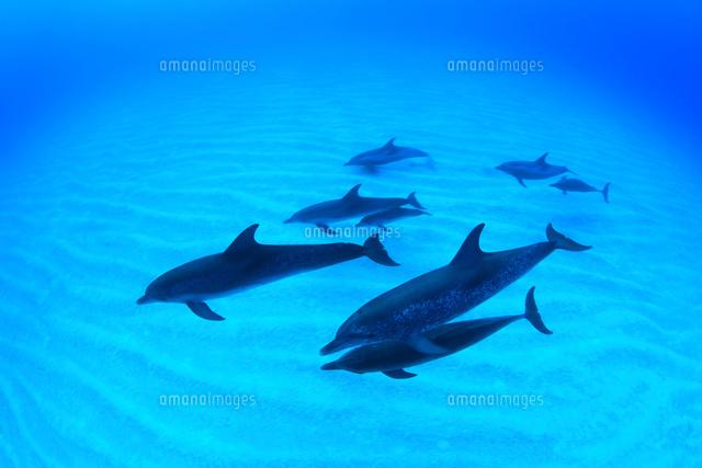 砂地の海底を泳ぐタイセイヨウマダライルカの群れ (c)TAKAJI OCHI/SEBUN PHOTO