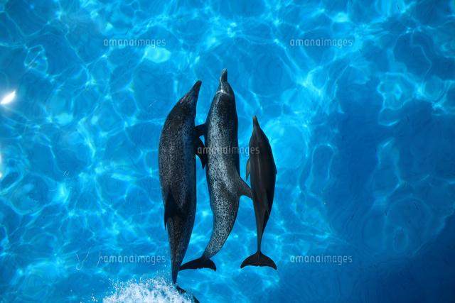 船の船首で泳ぐイルカ (c)TAKAJI OCHI/SEBUN PHOTO