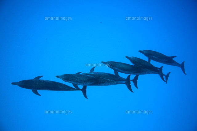 バハマの青い海を列になって泳ぐイルカ (c)TAKAJI OCHI/SEBUN PHOTO