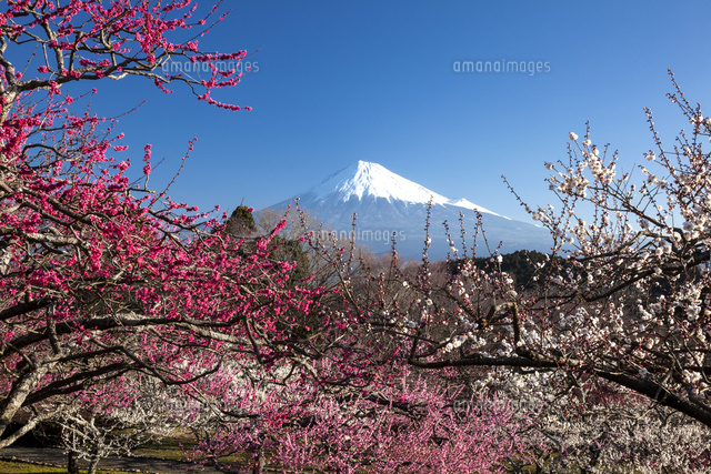 紅梅と富士山