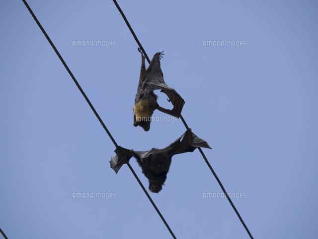 オオコウモリの画像 p1_31