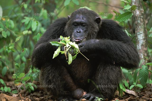 葉を食べるチンパンジー