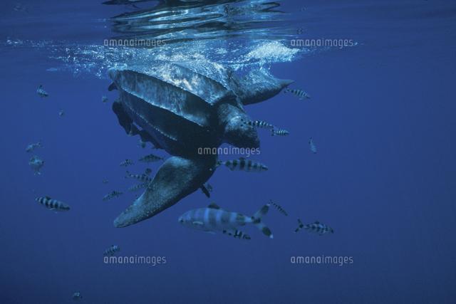 オサガメの画像 p1_38