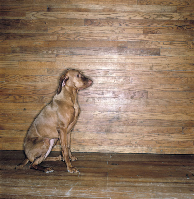 Dogs And Hardwood Floors: Dog On Wood Floor Next To Wooden Wall[50100143972]| ņ�真素材
