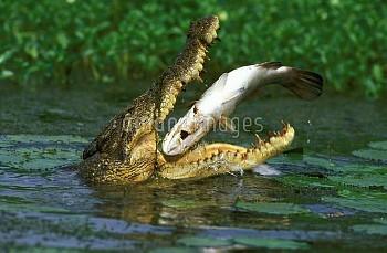 バラマンディを捕食するイリエワニ 〔Crocodylus,ニコン,calcarifer,saltwater,Lates,porosus,Crocodile,Barramundi,〕 Estuarine