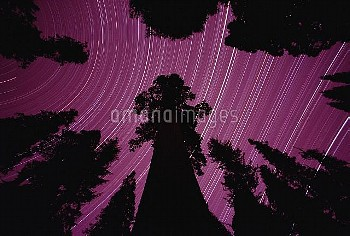 Giant Sequoia (Sequoiadendron giganteum) and star trails in King's Canyon National Park, California