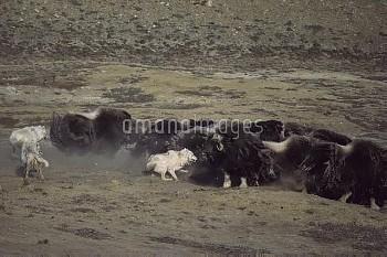 Arctic Wolf (Canis lupus) pack attacking Muskox (Ovibos moschatus) herd, Ellesmere Island, Nunavut,