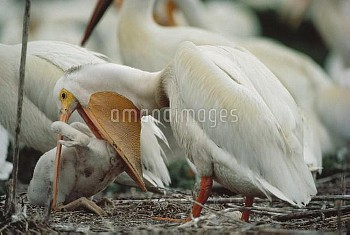 American White Pelican (Pelecanus erythrorhynchos) feeding young, North Dakota