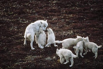 Arctic Wolf (Canis lupus) parent and six pups, Ellesmere Island, Nunavut, Canada