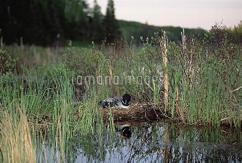 Common Loon (Gavia immer) incubating eggs on nest, northern Minnesota