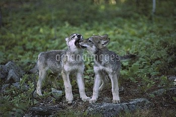Timber Wolf (Canis lupus) pups play flighting, Minnesota
