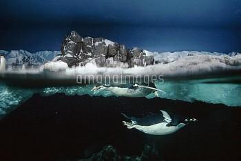 Adelie Penguin (Pygoscelis adeliae) pair swimming underwater in zoo exhibit, North America