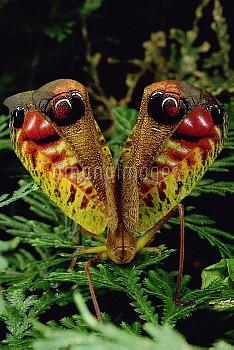 Peacock Katydid (Pterochroza ocellata) flashing false eye spots in defensive posture, Rio Momon, Per