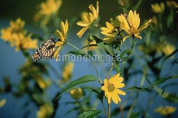 Monarch (Danaus plexippus) butterfly feeding on a Giant Sunflower (Helianthus giganteus), South Dako