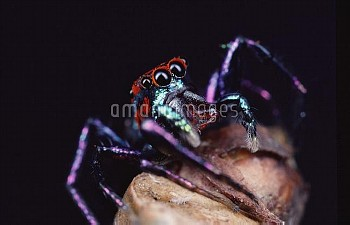 Jumping Spider (Chrysilla sp) portrait, Sri Lanka