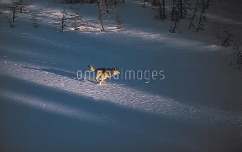 Timber Wolf (Canis lupus) running across frozen Kawishiwi Lake, Minnesota