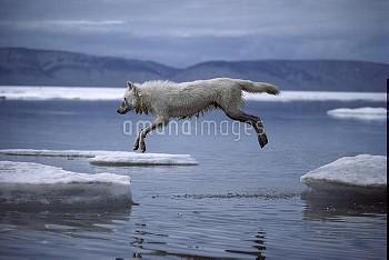 Arctic Wolf (Canis lupus) leaping onto ice floe, Ellesmere Island, Nunavut, Canada