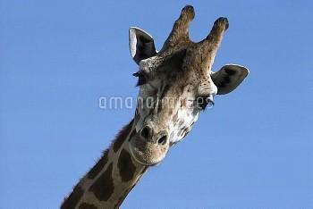 Rothschild Giraffe (Giraffa camelopardalis rothschildi) portrait, native to Uganda and Kenya