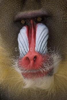 Mandrill (Mandrillus sphinx) adult male portrait, native to Africa