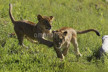 African Lion (Panthera leo) pair of cubs playing, threatened, native to Africa