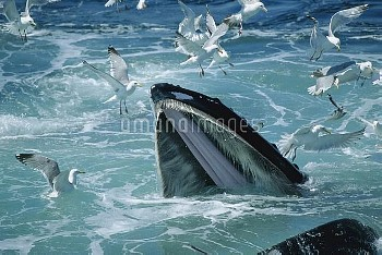 Humpback Whale (Megaptera novaeangliae) feeding, with Herring Gulls (Larus argentatus) waiting for l