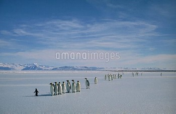 Emperor Penguin (Aptenodytes forsteri) group on ice edge with lone Adelie Penguin (Pygoscelis adelia