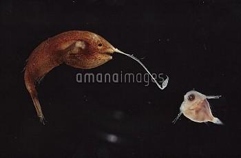 Anglerfish (Gigantactis vanhoeffeni) a deep sea anglerfish with long fishing pole using bioluminesce