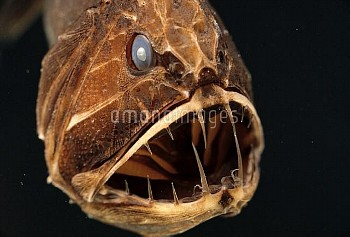 Fangtooth (Anoplogaster cornuta) adult portrait underwater showing open mouth and sharp teeth, Easte